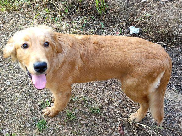 金毛真是条傻狗,它在山里就知道玩,丝毫不顾及主人的态度