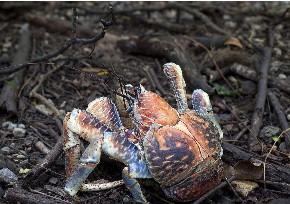 世界上最大的陆生蟹 会爬椰树开椰壳,却因肉质鲜美被吃到濒危