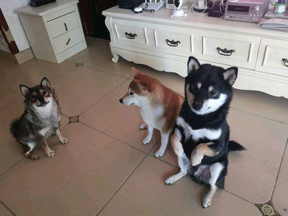 网友本想指望三只柴犬看门,没想到它们会这么贪玩儿