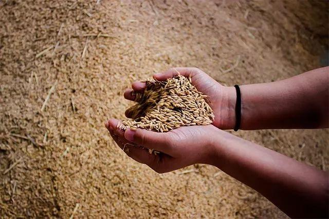 新米预售开抢!2019年第一批秋收五常大米,香浓软糯就吃它!