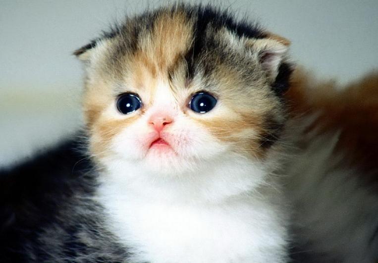 萌萌的折耳猫,融化人心的小精灵