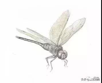 工笔蜻蜓 蝈蝈画法步骤示范