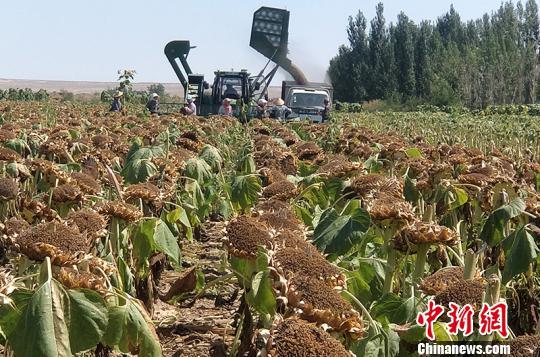 新疆兵团团场大漠边缘建成八万亩食葵种植基地促农增收