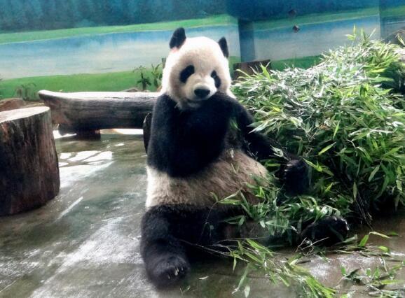 萌翻!赠台熊猫团团圆圆将满15岁庆生蛋糕设计图曝光
