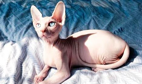 普贝斯 无毛猫拉稀是因为肚子里有虫子吗