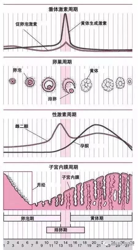 性激素六项最通俗易懂的解释
