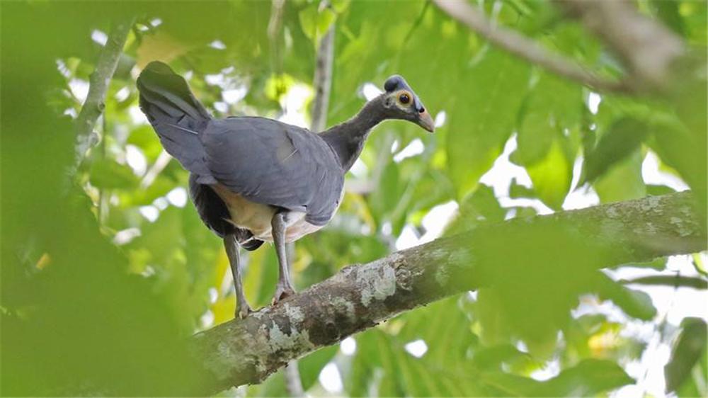 苏拉威西岛发现巨脚鸟,把蛋产在土坑里,靠烂叶发酵来孵化小宝宝
