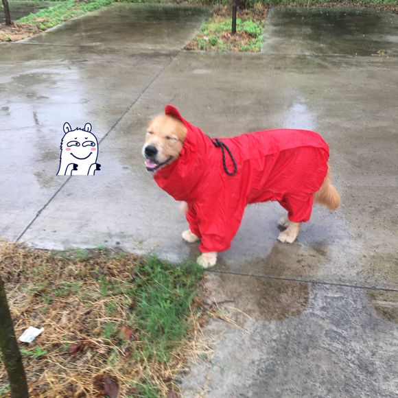 下雨不用遛狗?这得看狗同不同意,这只金毛是风雨无阻