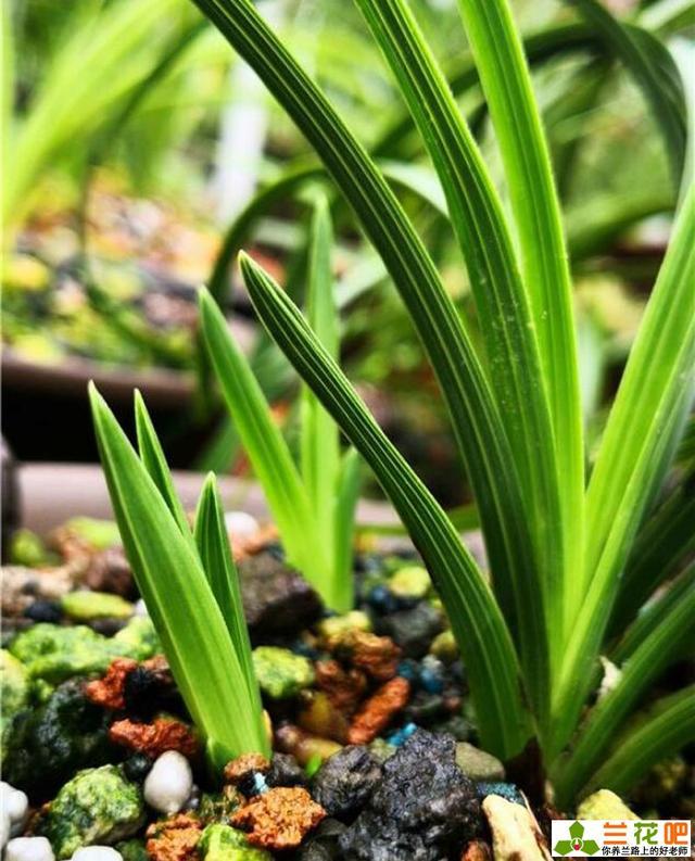 兰花芽期的管理和壮苗的方法图片