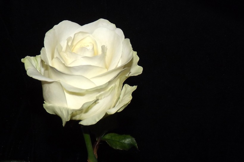 要么不爱,要么深爱,一旦爱一个人就会全心全意付出的属相