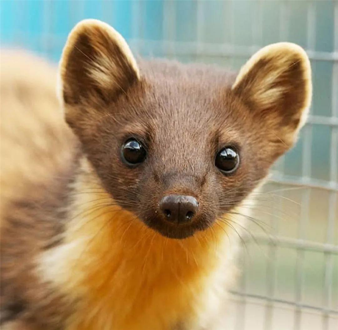 亚马孙雨林有种动物,4寸长舌方便吮吸花蜜,18寸尾巴可当被子用