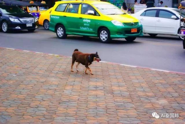 泰国满街流浪狗,有的已修炼成精!瞧这只影帝狗,火成网红了
