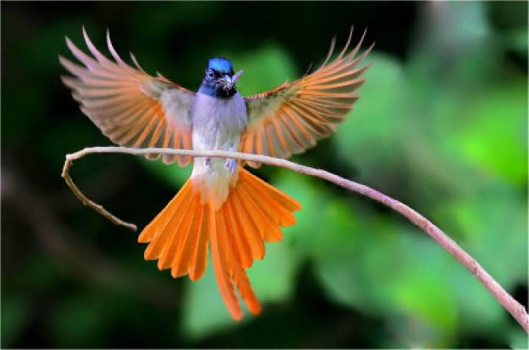 重庆发现一种鸟,雄鸟老了全身羽毛变白,雌鸟交配后尾羽自动脱落