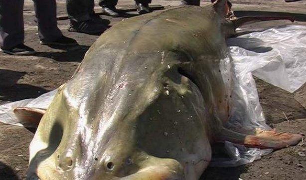 全球最大的淡水鱼,就生活在中国黑龙江水域,最重可达2000斤