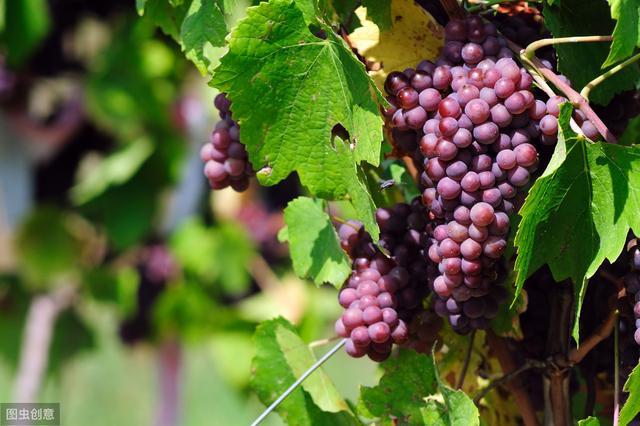 葡萄有什么营养成分?女性经常吃有啥好处?医生:有4大健康功效