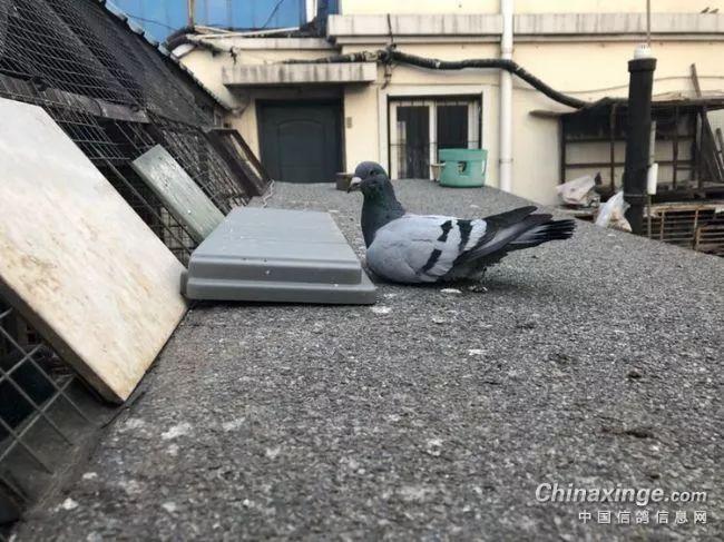 为什么喜欢鸽子?看完这一篇你就明白了