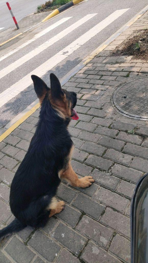 网友带德牧去从来不拴狗绳,导致了悲剧发生,它还很小