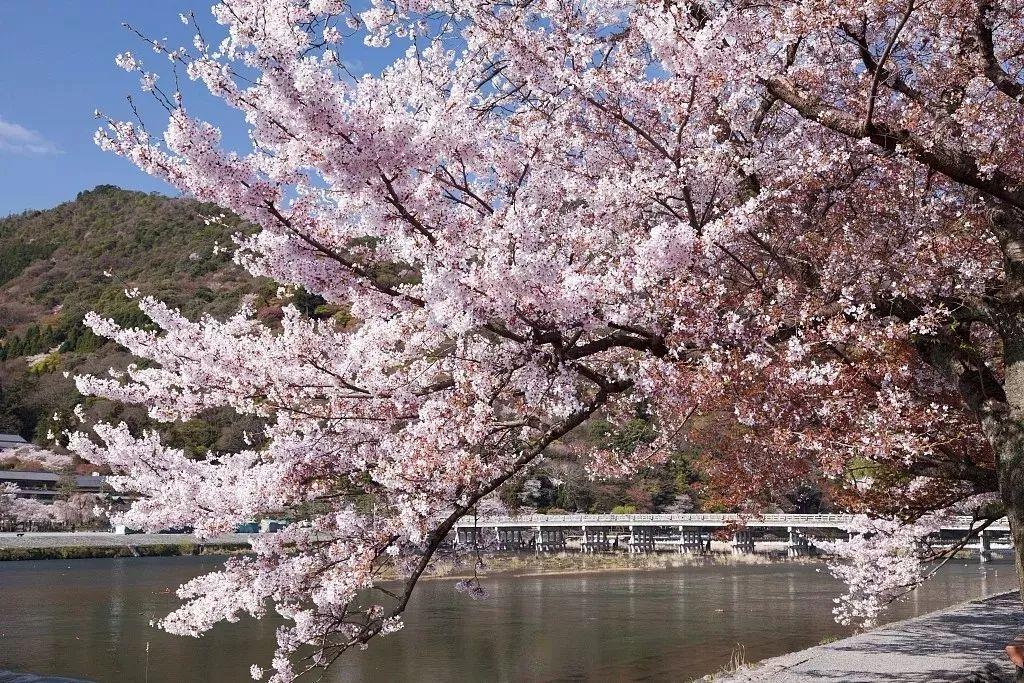 带您看各地景区的浪漫樱花诉说爱清最浪漫的语言!