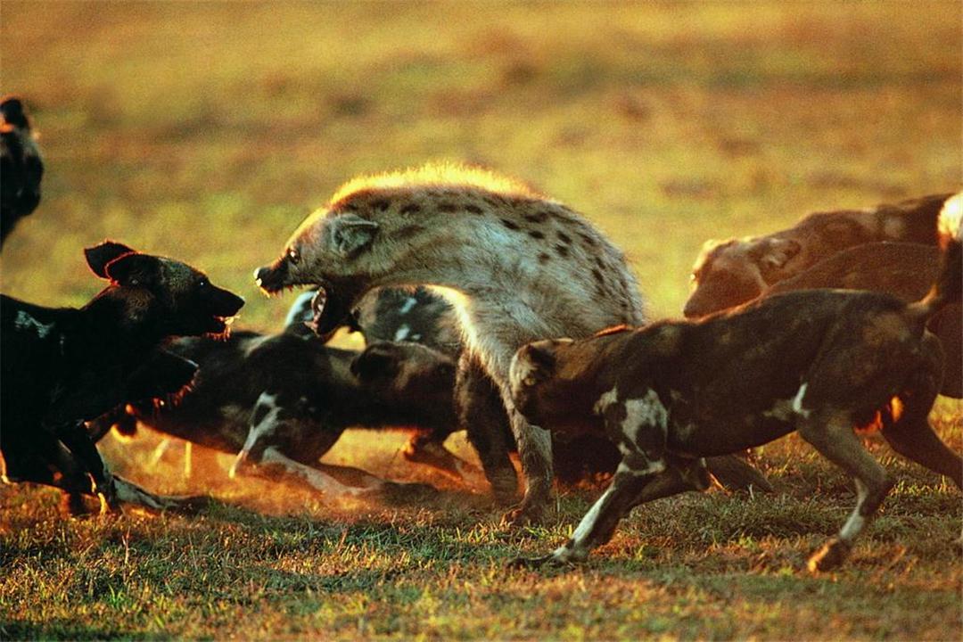 最凶的牛_人类餐桌上的10大濒危动物