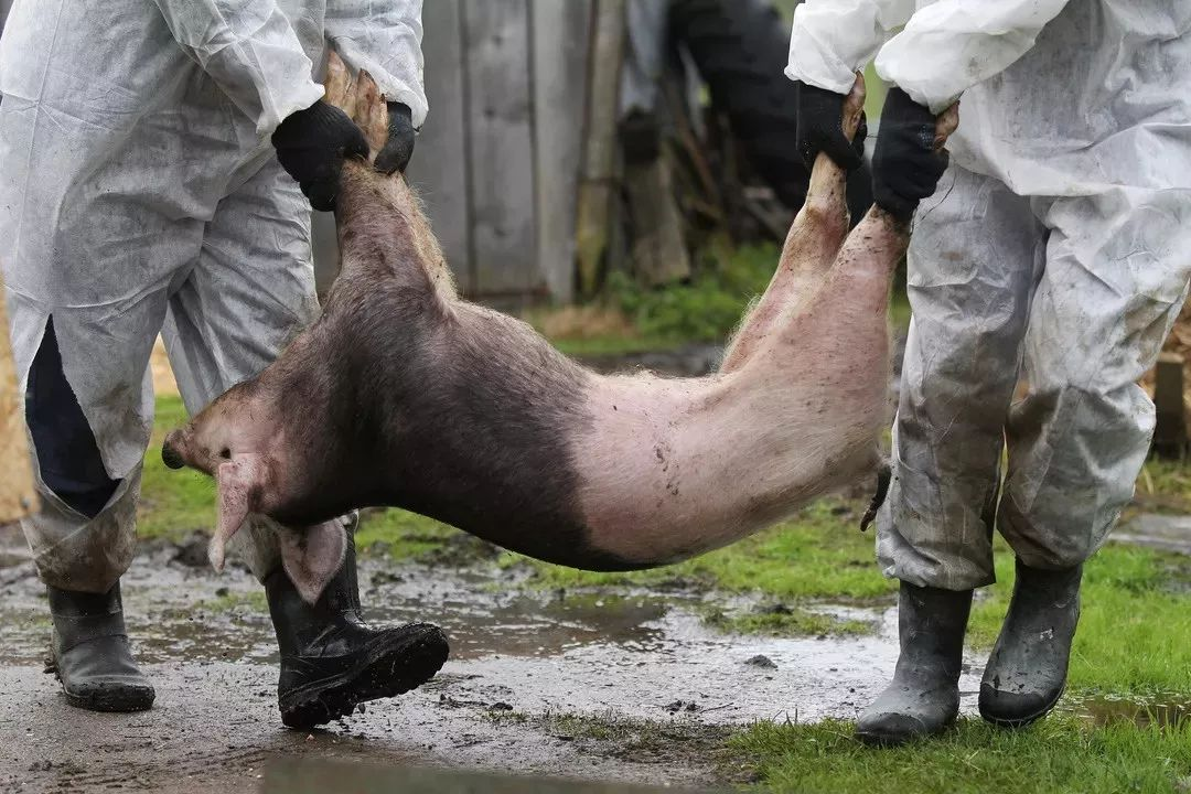 贺州果断出手,应对猪肉价快速上涨!