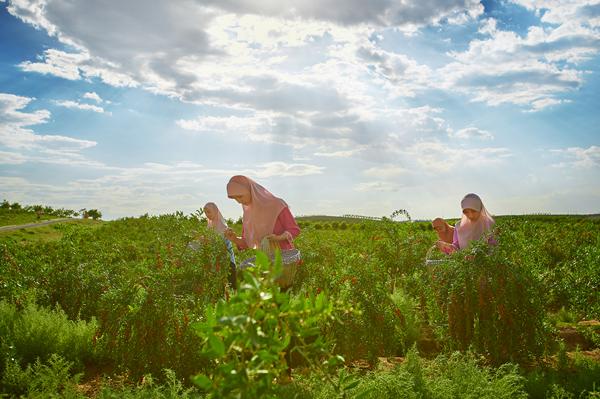 回娘子传承人胡忠庆:创新枸杞栽培技术,突破传统经验,产量逐年递增