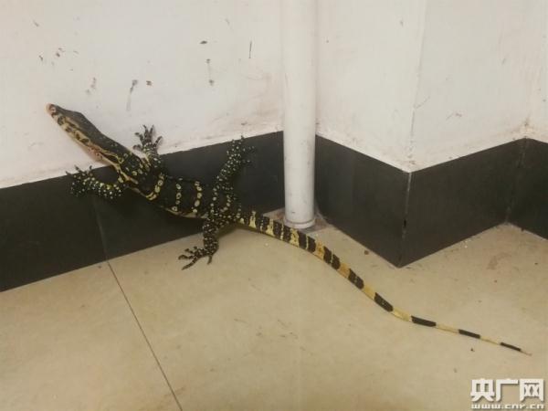 云南普洱:咖啡店惊现国家一级保护动物巨蜥