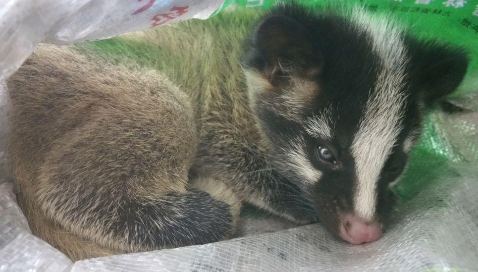 【资讯】野生动物保护,从我做起丨来看萌萌哒果子狸图片