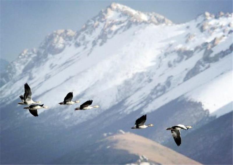 青海湖这种濒危鸟类正在迁徙,8小时飞过喜马拉雅山,它会缺氧吗