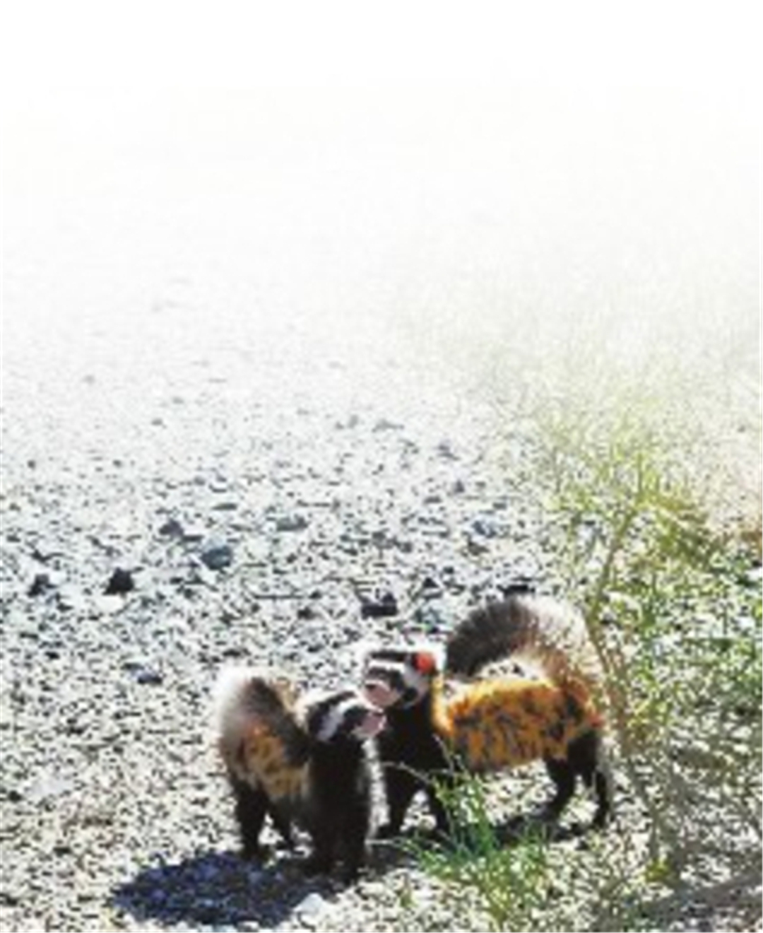 新疆沙漠现捕鼠高手,身披虎皮长相似鼬,循鼠迹入洞把老鼠一锅端