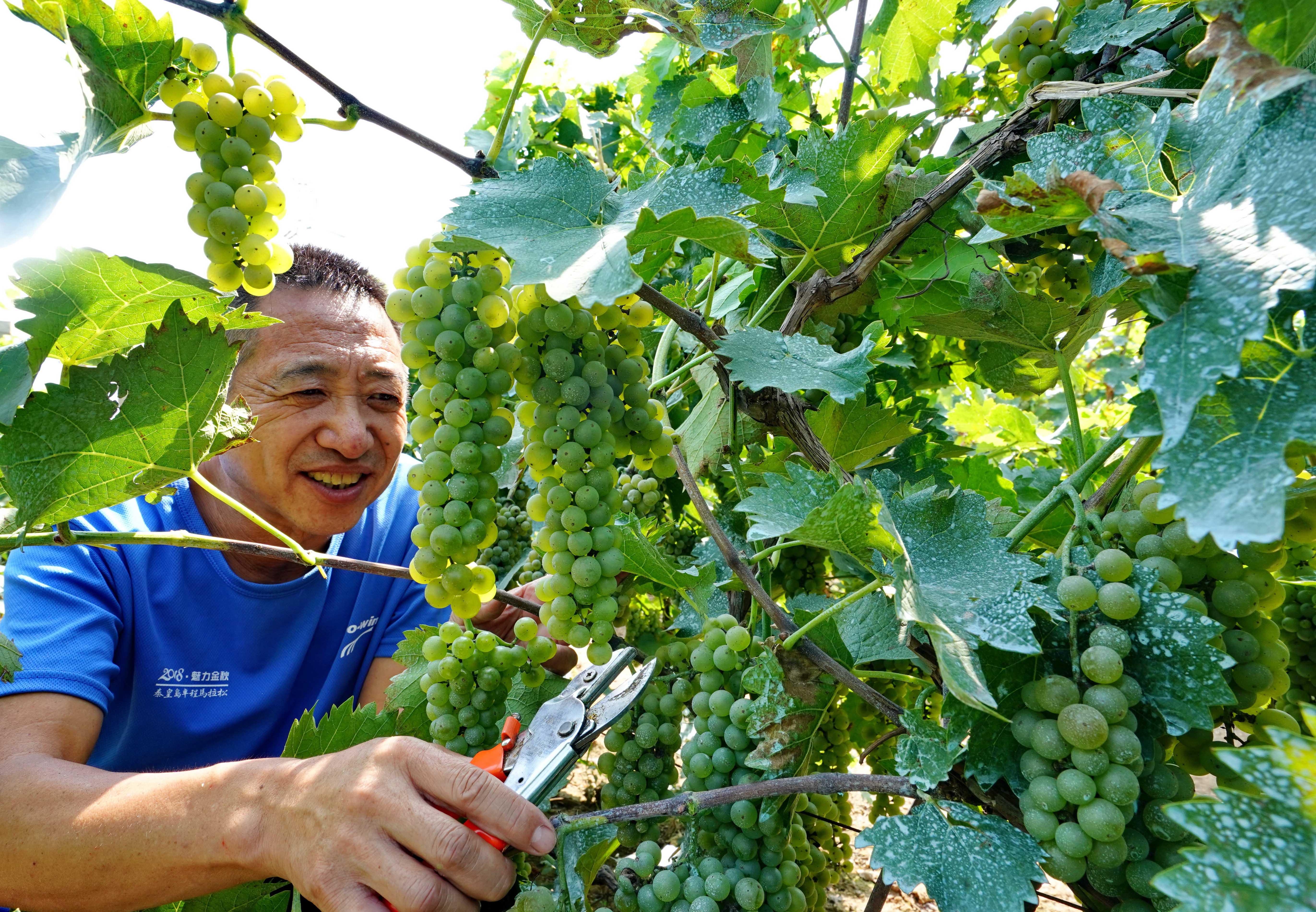 河北昌黎:酿酒葡萄田管忙