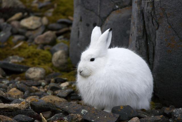 生活在北极圈里的四种白色精灵