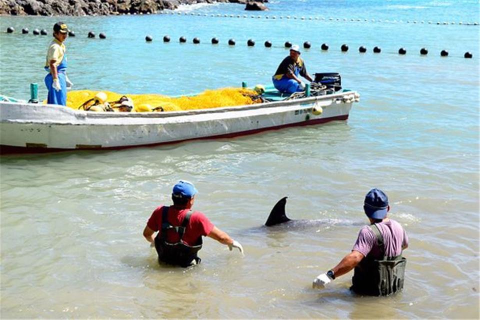 原创 日本太极湾迎来野蛮屠杀季,将有1700多只海豚鲸鱼遭难