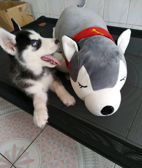二哈睡觉时觉得床被抢,一睁眼看就看到了它,狗:你是谁?