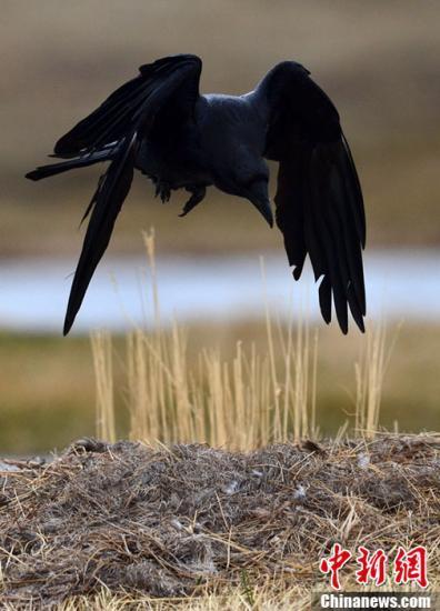 愤怒的小鸟!被当成杀子凶手男子遭乌鸦追啄3年