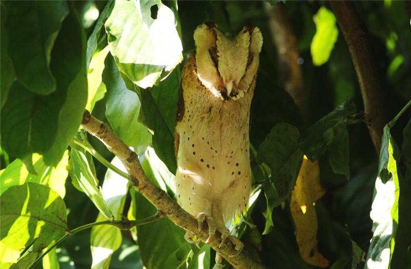 西双版纳发现罕见的鸟,长着一张心形脸,叫声如歌曲高低起伏