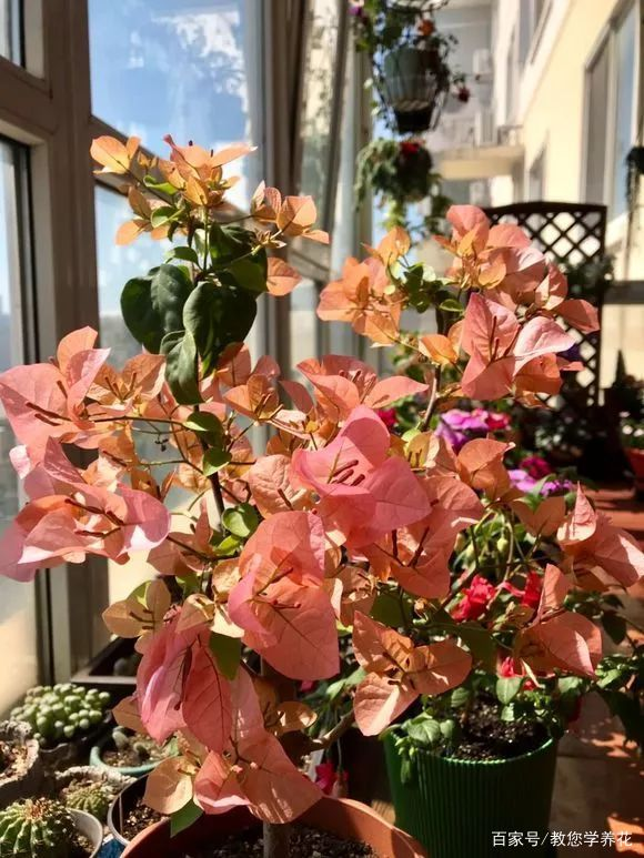 秋天就养这5种花,天凉了就猛开花