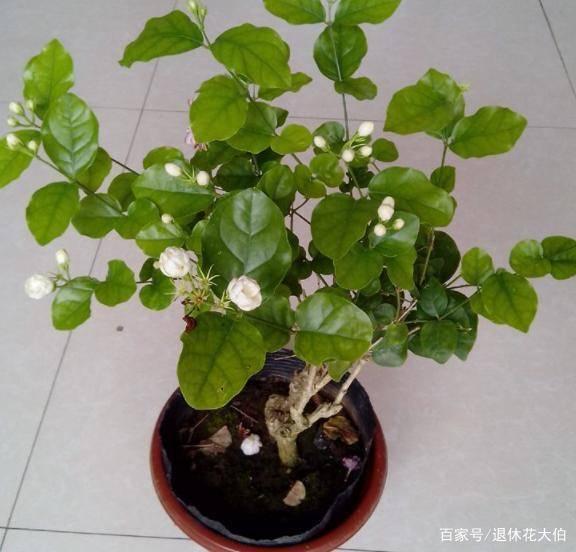 入秋如何养茉莉盆栽?跟着学4个小技巧,呼呼窜花直到深秋