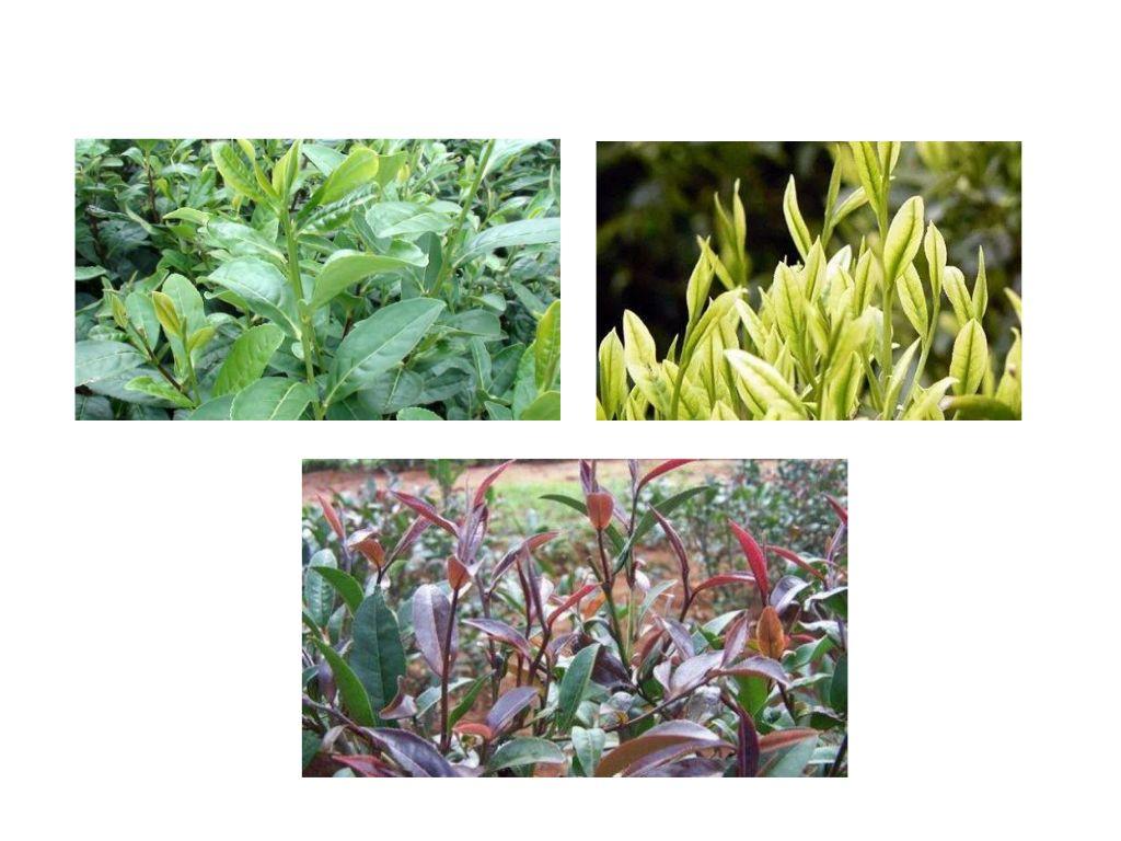 茶树植物学特征你了解多少