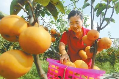 黄梨丰收果农增收