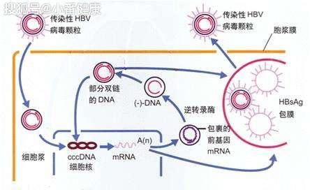 e抗原阳性慢乙肝指什么,配合肝功能与乙肝DNA,弄懂它