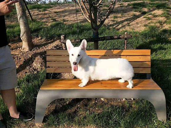 养只白色的柯基真累,要经常给它洗澡才行,狗:我也烦