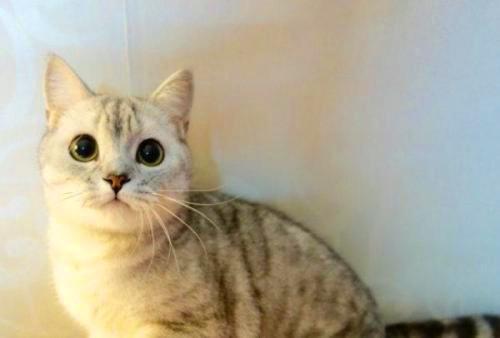 【奇妙の猫咪物语】银渐层背上长黄毛,银渐层为什么长黄毛