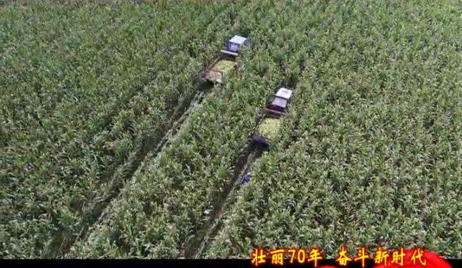 【壮丽70年 奋斗新时代】青冈鲜食玉米全