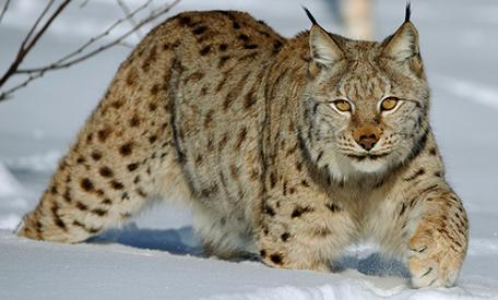 世界四大禁养猫科动物,第三种好可爱,想养又不敢!