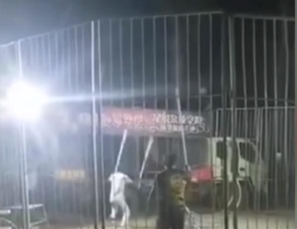 河南原阳幼虎出逃马戏团两负责人被刑拘!小虎曾被车撞暂送动物园