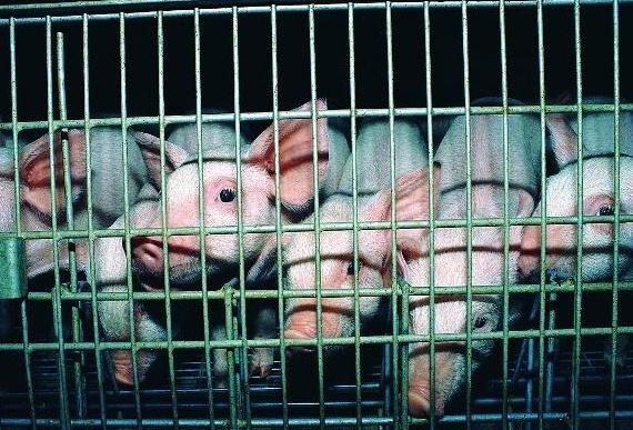 生猪禁养取消了,在农村办个养殖场养猪,引进种猪应注意什么?