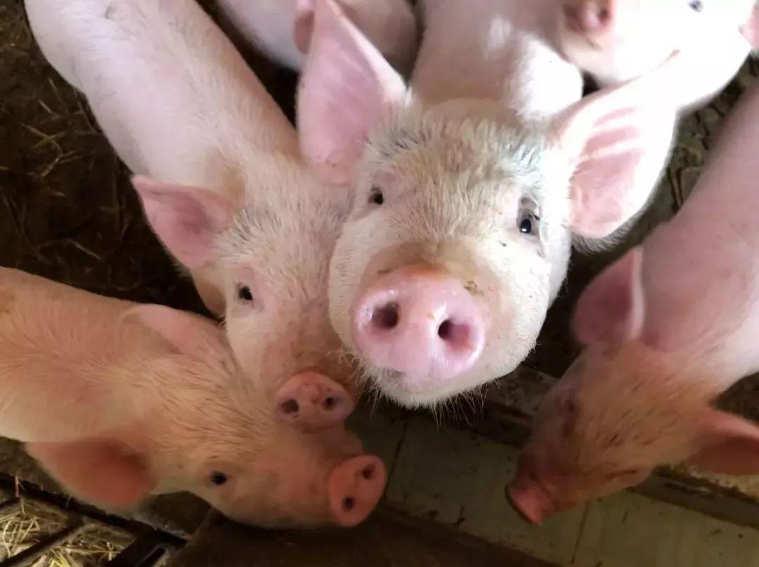 关于猪肉价格的这些问题,有必要了解一下