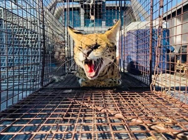 美国动物保护官员使用烤鸡作为诱饵 捕获在逃的非洲薮猫