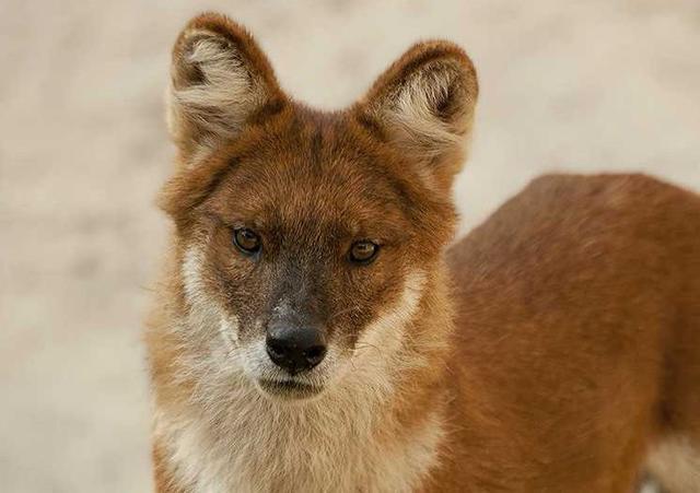 网络专业追款_原创 都说豺狼虎豹,排在最前的豺到底是种什么动物?它是狗的祖先吗