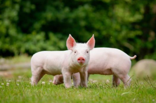 生猪禁养取消,鼓励农户养猪!自家剩菜剩饭可以拿来喂猪吗
